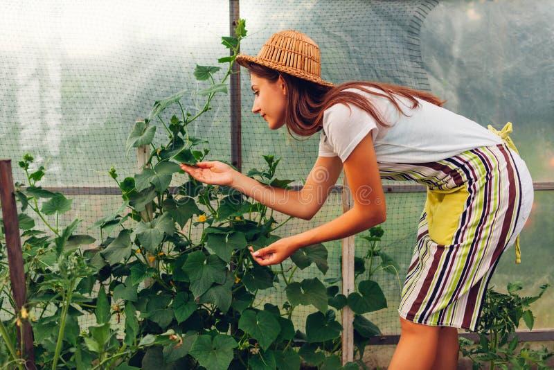 Vrouwenlandbouwer die komkommers bekijken die in serre groeien Arbeider die groenten in broeikas controleren royalty-vrije stock foto