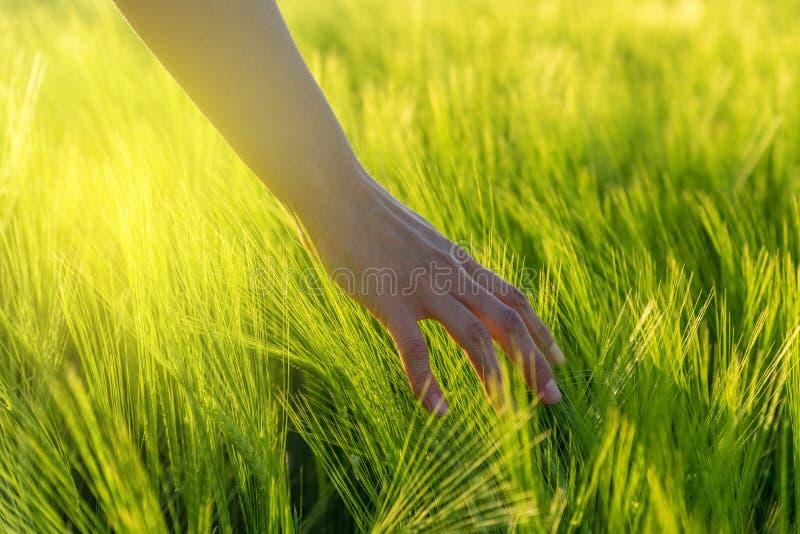 Vrouwenlandbouwer Hand wat betreft tarwe royalty-vrije stock afbeeldingen