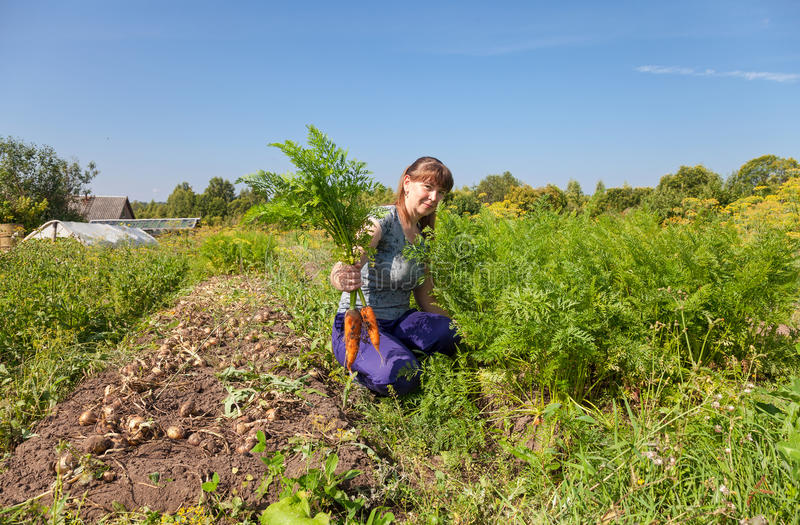 Vrouwentuinman die een schoof van wortelen in haar tuin houden stock foto's