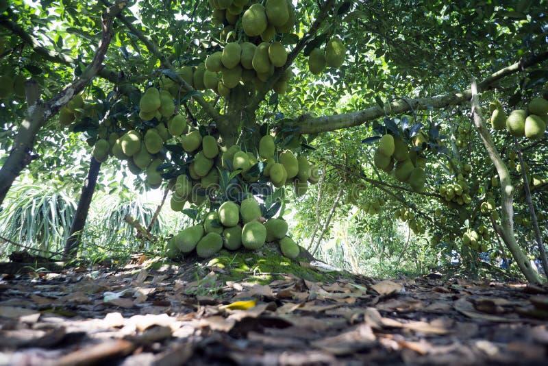 Vruchten boom van Viet Nam Jackfruit Quá º£ MÃt Trai Mit stock fotografie