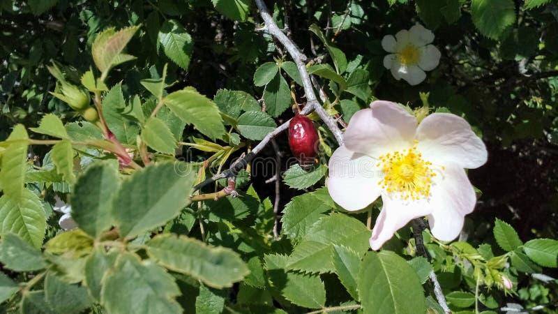 Vruchten en bloemen van wilde rozen stock foto's