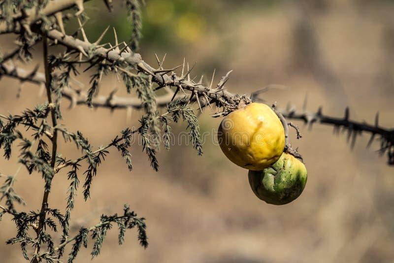 Vruchten op een boom in het Simien-Bergen Nationale Park in Noordelijk Ethiopië royalty-vrije stock foto
