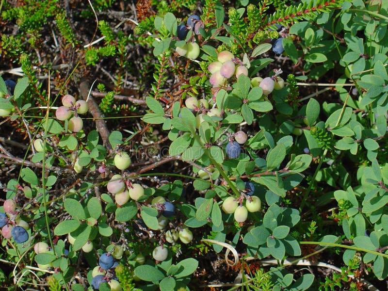 Vruchten van de Noordelijke Bosbes royalty-vrije stock afbeelding