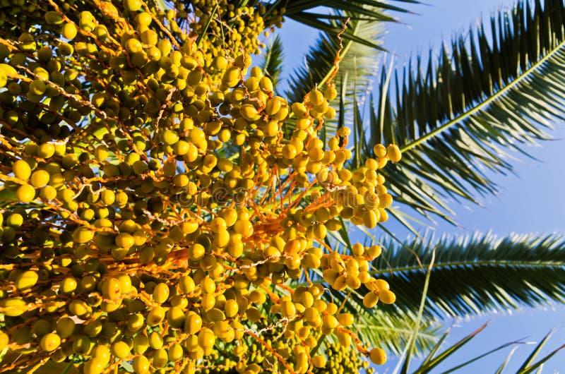 Vruchten van een palm bij zonsondergang in Sithonia stock foto's