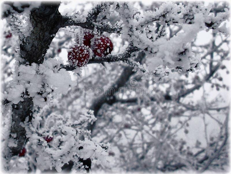 Vruchten van haagdoorn in ijs stock fotografie