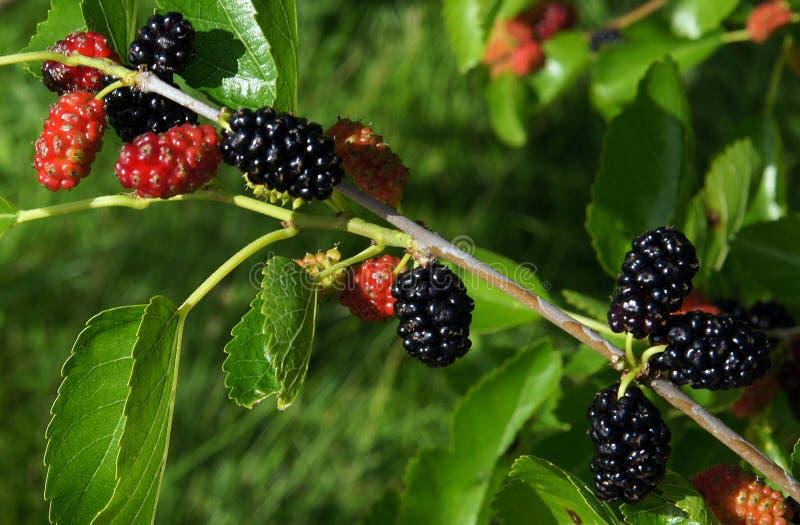 Vruchten van moerbeiboom royalty-vrije stock afbeeldingen