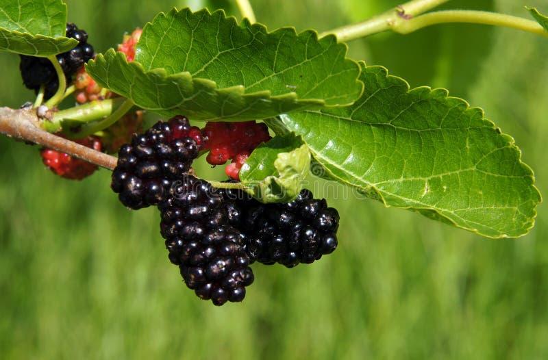 Vruchten van moerbeiboom stock foto