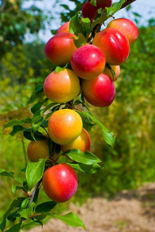 Vruchten van pruimboom royalty-vrije stock afbeeldingen