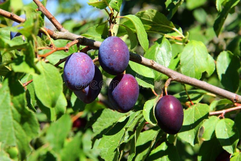 Vruchten van pruimboom stock afbeeldingen