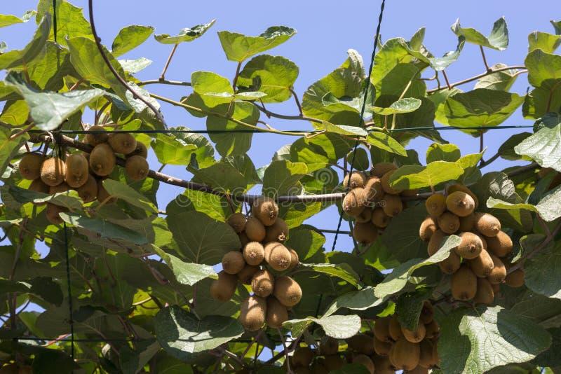 Vruchten van rijpe rijpe kiwi op takken royalty-vrije stock afbeelding