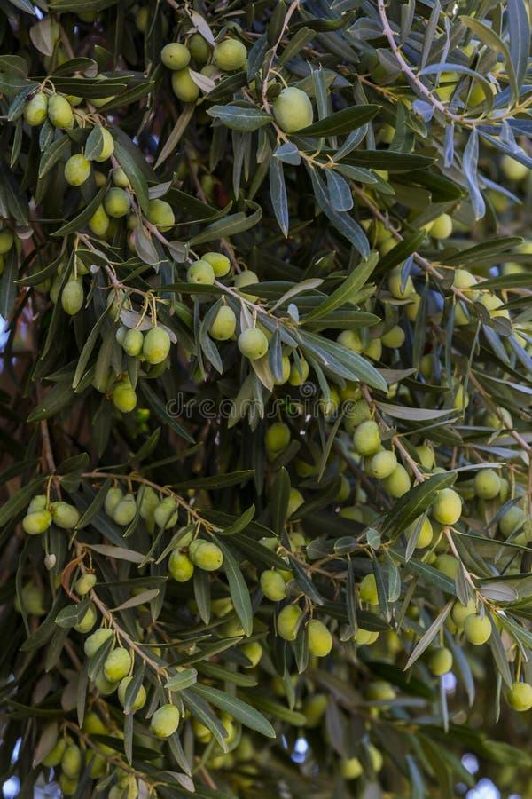 Vruchten van takken van de citrusvruchten de oranje boom royalty-vrije stock afbeeldingen