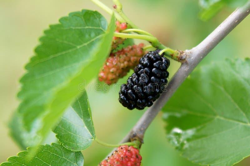 Vruchten van zwarte moerbeiboom stock foto's