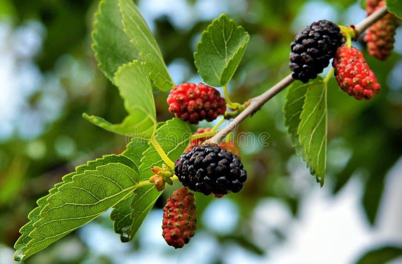 Vruchten van zwarte moerbeiboom stock afbeeldingen