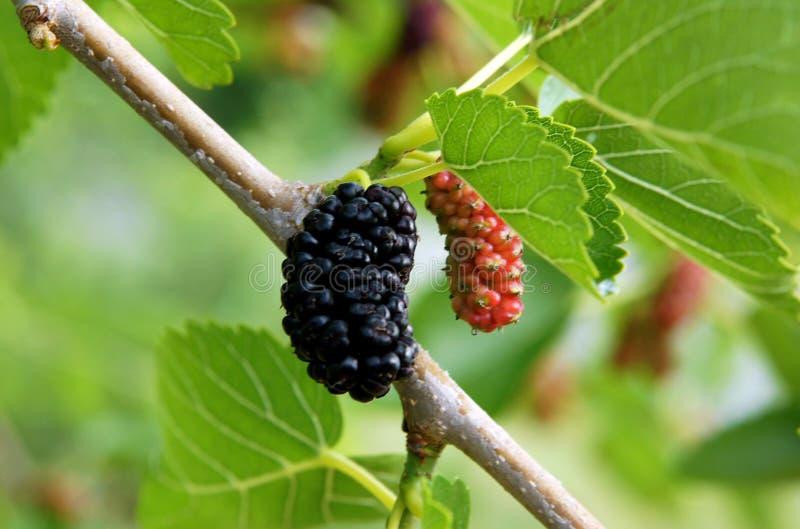 Vruchten van zwarte moerbeiboom royalty-vrije stock foto's