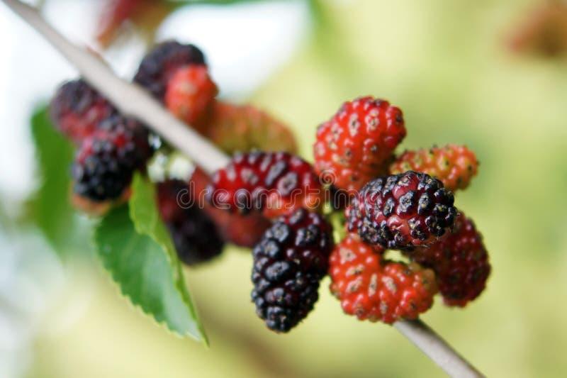 Vruchten van zwarte moerbeiboom royalty-vrije stock foto