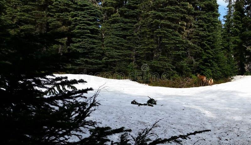 Vue éloignée de daine et de faon de sentier de randonnée neigeux avec des plantes vertes images stock