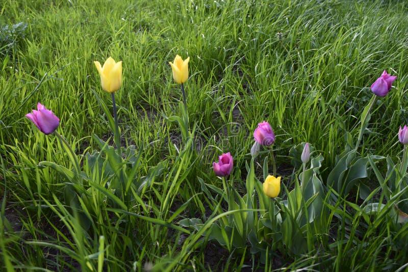 Vue époustouflante sur les tulipes colorées les fleurs jaunes violettes dans le jardin et l'herbe verte photo libre de droits