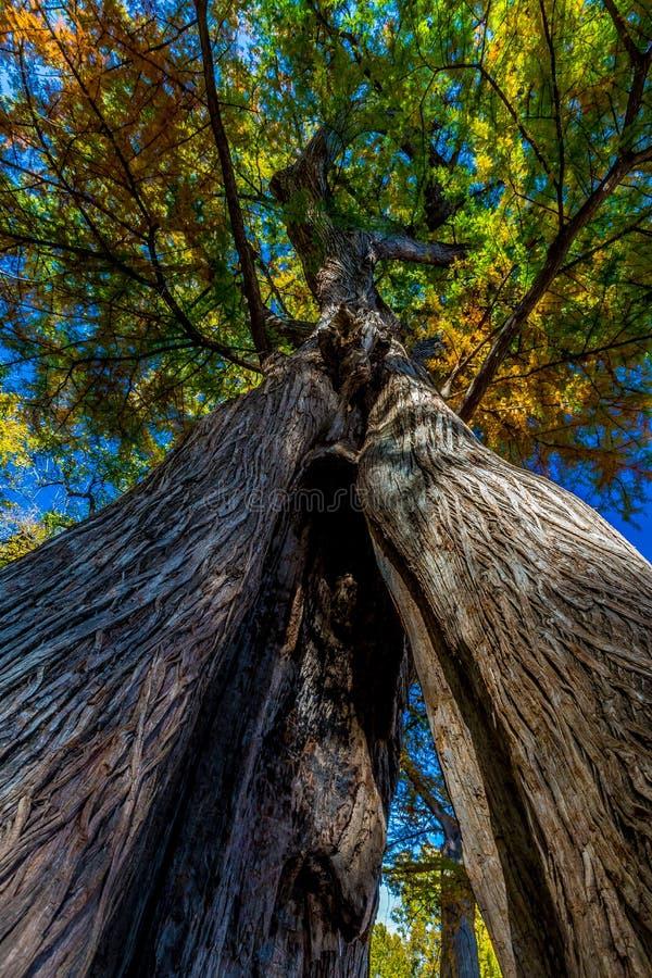 Vue étonnante d'arbre de Cypress de tronc de fente avec le feuillage d'automne image libre de droits
