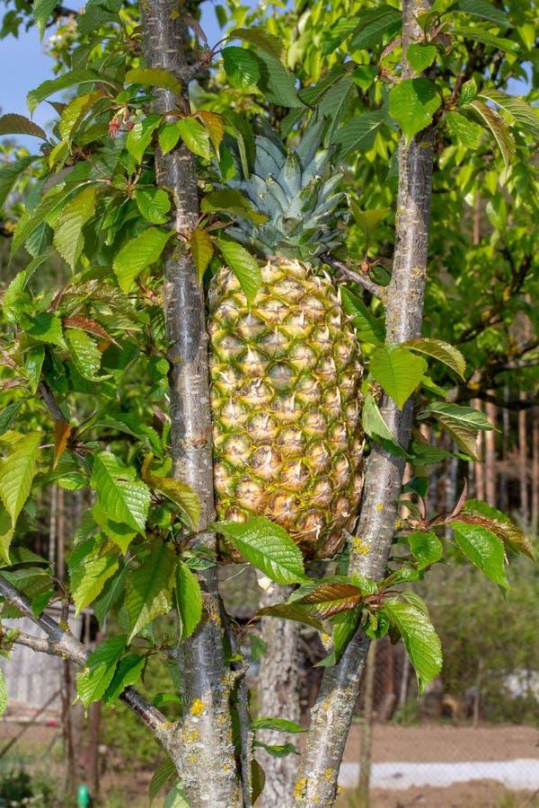 Vue étrange même - ananas sur la cerise photographie stock libre de droits