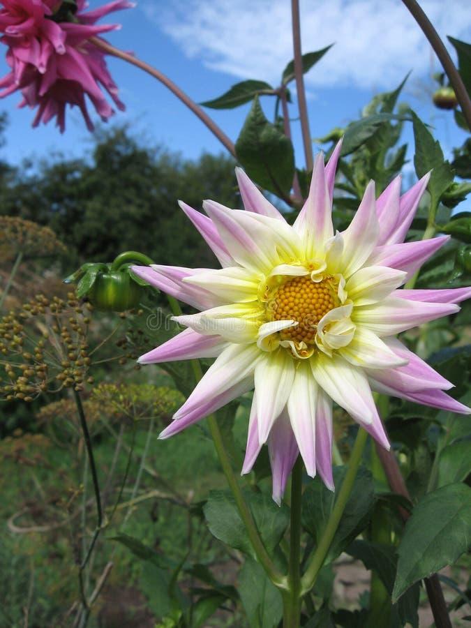 Download Vue étroite D'un Dahlia Rose Blanc De Fleur Image stock - Image du tête, vivacité: 77162075