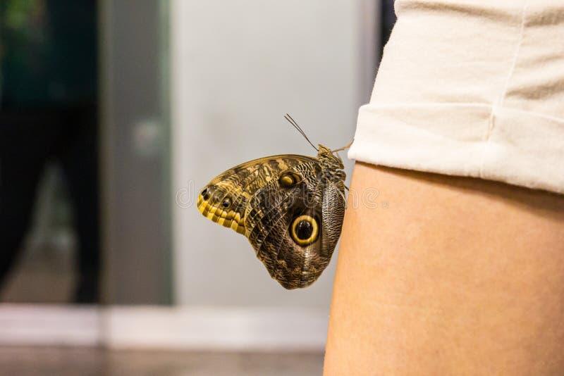 Vue étroite d'un papillon d'amiral avec les ailes fermées images stock