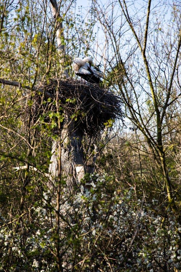 Vue étroite d'une cigogne nettoyant ses plumes dans son nid image libre de droits