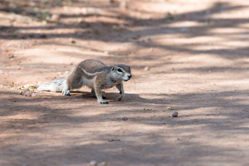 Vue étroite d'une tamia pelucheuse traversant une route chez la Namibie images stock