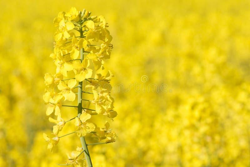 Vue étroite de colza en fleur photographie stock libre de droits