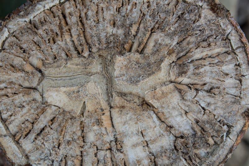 Vue étroite de coupe de section transversale d'un cactus photographie stock libre de droits