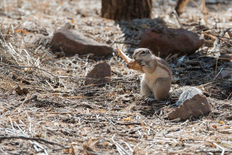 Vue étroite de l'écureuil moulu pelucheux namibien rongeant un os images stock