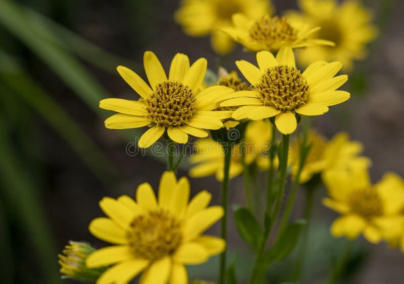 Vue étroite des fleurs jaunes d'herbe de Montana d'arnica d'arnica note images libres de droits
