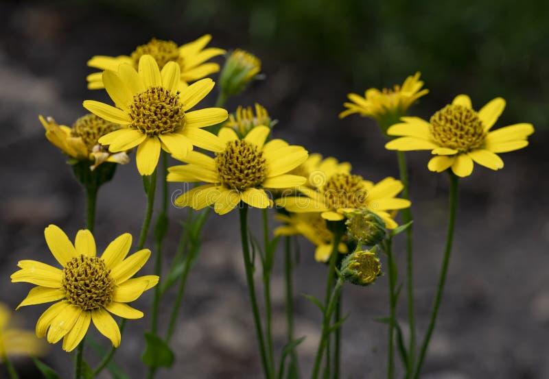 Vue étroite des fleurs jaunes d'herbe de Montana d'arnica d'arnica note photo libre de droits
