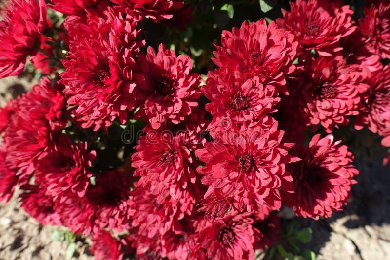 Vue étroite des fleurs rouges des chrysanthèmes en octobre photo libre de droits