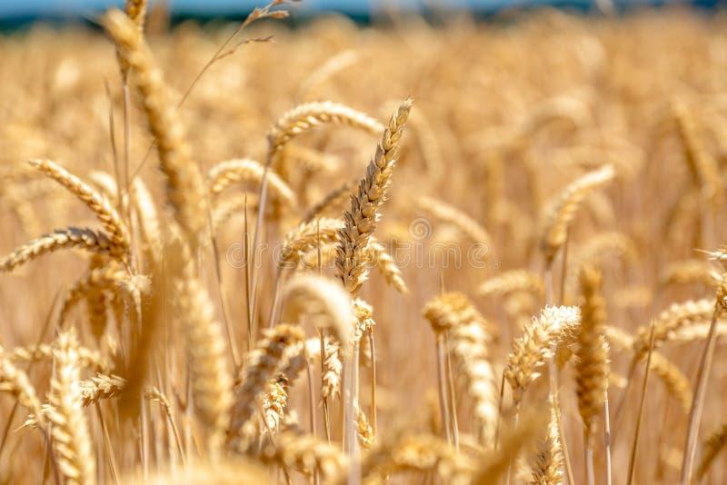 Vue étroite des transitoires d'un blé à un champ de blé images stock