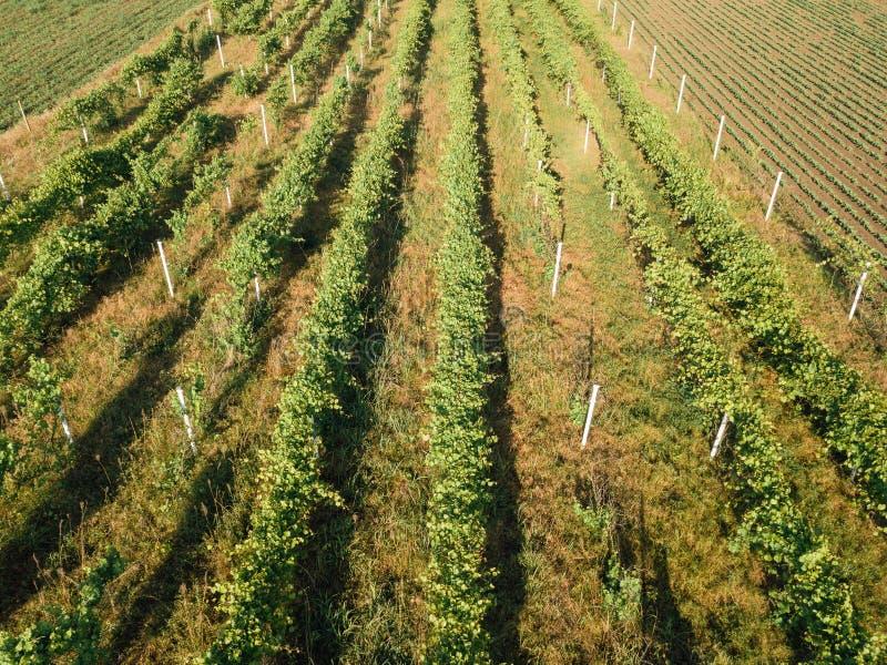 Vue aérienne abandonnée de vignoble de vigne images libres de droits