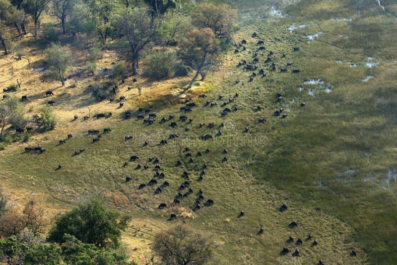 Vue aérienne d'un grand troupeau de Buffalo africain de cap photos stock