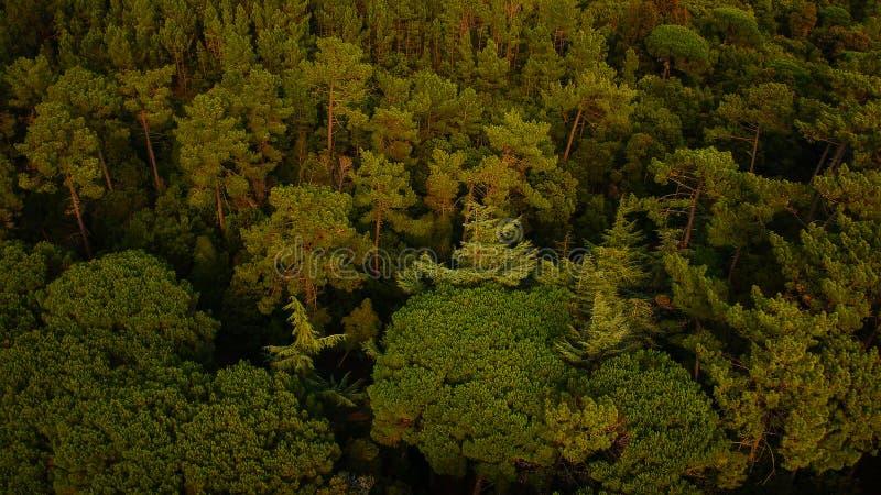 Vue aérienne d'une forêt de pin photos libres de droits
