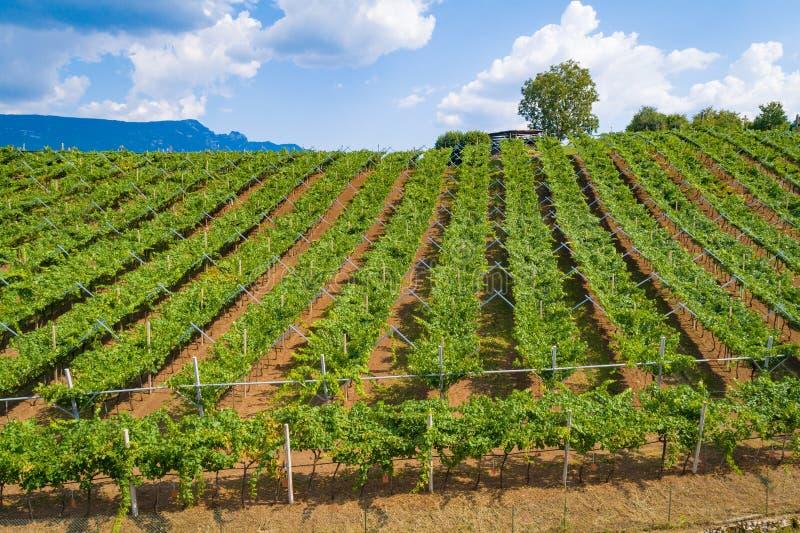Vue aérienne de bourdon sur la plantation de vignoble en Italie du nord photographie stock libre de droits