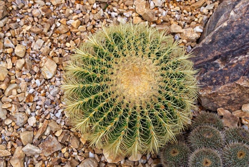 Vue aérienne de cactus de baril d'or, grusonii d'Echinocactus photos libres de droits