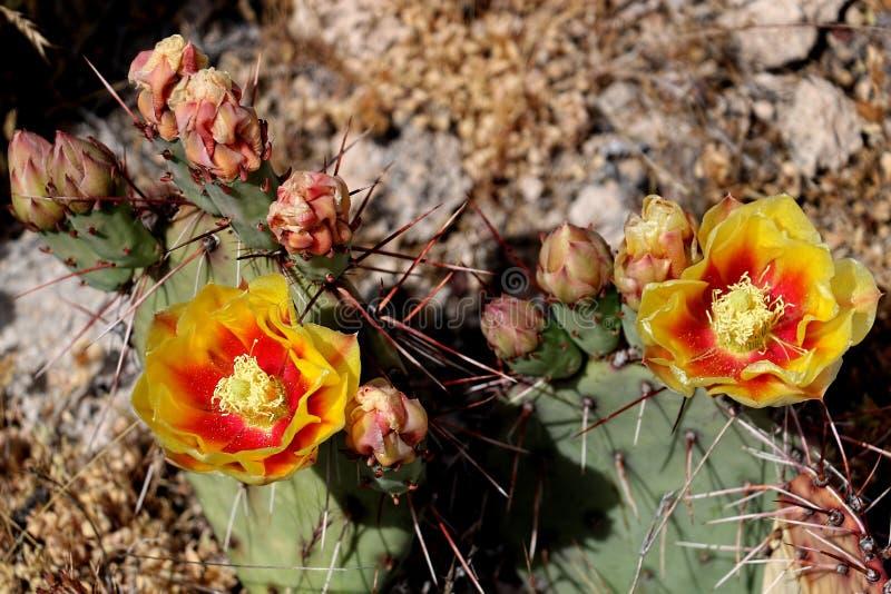 Vue a?rienne de deux fleurs de cactus image libre de droits