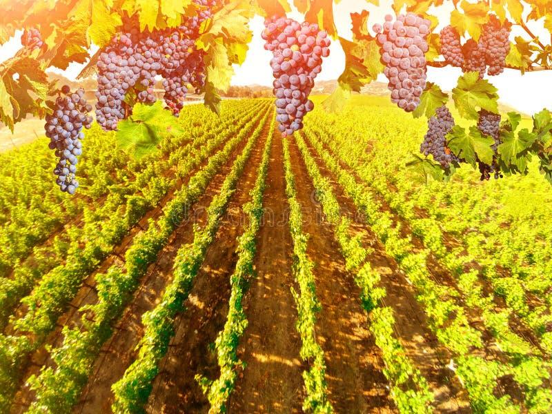 Vue aérienne de paysage de vignoble photos libres de droits