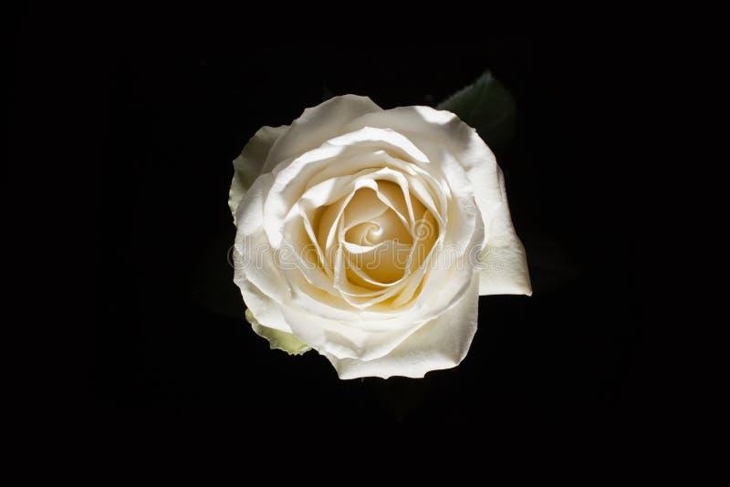 Vue aérienne de rose de blanc sur le blatsk Rose dans l'obscurité Élément de conception Rose de rose sur le batskground noir photos stock