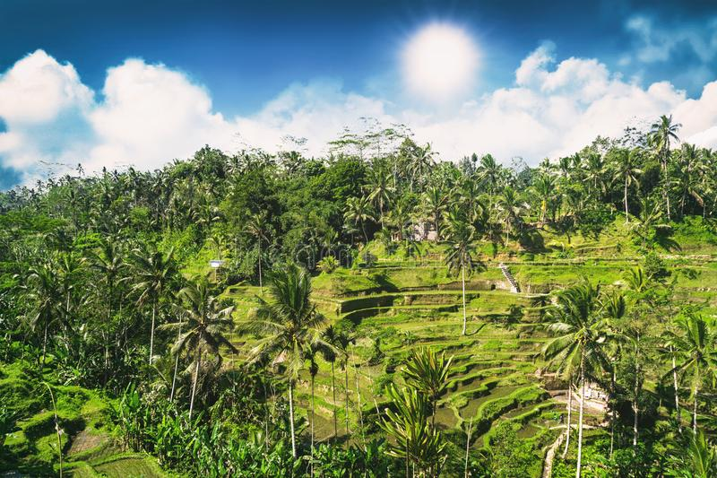 Vue aérienne de terrasse de riz de Tegalalang au jour ensoleillé dans Ubud, Bali, Indonésie images libres de droits