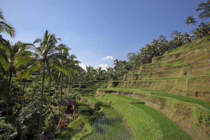 Vue aérienne de terrasse de riz de Tegalalang dans Ubud, Bali, Indonésie photos libres de droits