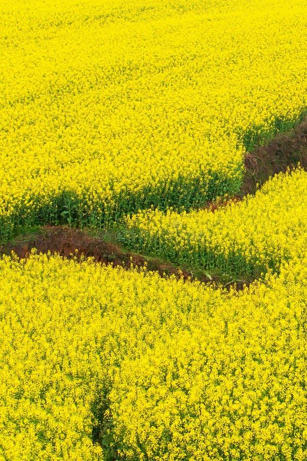 Vue aérienne des champs de terrasses de moutarde le printemps, fleurs colorées d'usine de moutarde en pleine floraison Yunnan, Ch photos stock
