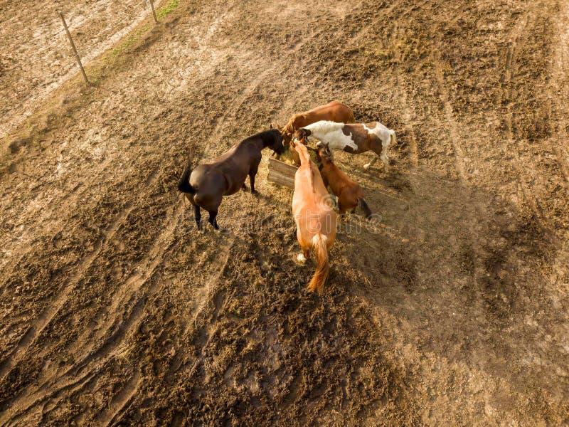 Vue aérienne du bourdon des chevaux de ferme frôlant et marchant un jour d'été image libre de droits
