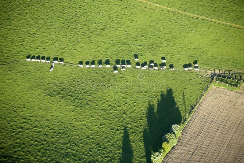 Vue aérienne : Vaches dans la file d'attente croisant un pré image libre de droits