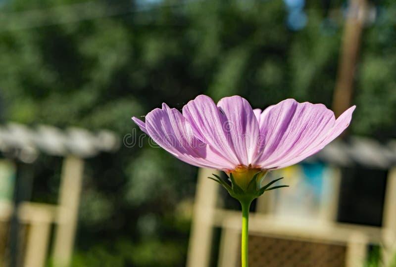 Vue abstraite d'un petit Wildflower rose photographie stock