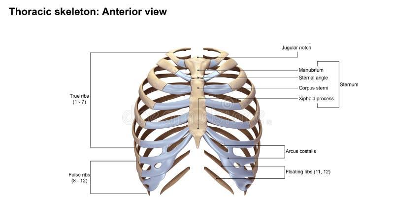 Vue antérieure squelettique thoracique photographie stock