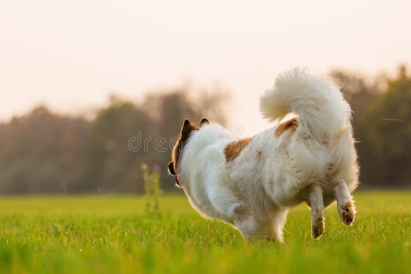 Vue arrière d'un chien courant d'elo image libre de droits